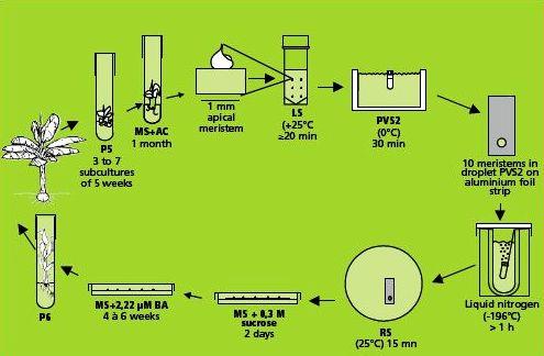banana tissue culture protocol pdf
