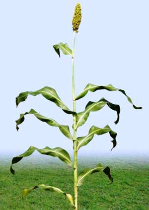sorghum (sorghum bicolor) plant  (photo: icrisat)