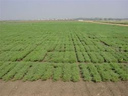 chickpea_regeneration_field