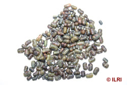 sesbania seeds with insect damage.jpg
