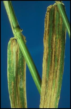 helminthosporium gramineum