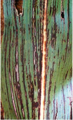 Thesis on bacterial leaf blight of rice